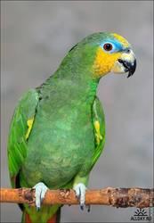 Попугая Венесуэльский амазон