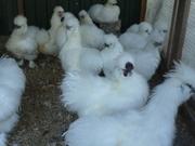Цыплята китайские шёлковые