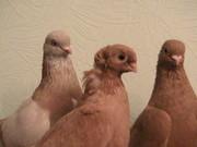 Продам голубей,  г.Павлодар