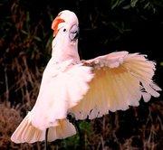 попугай молуккский какаду