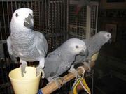 Птенцы выкормыши Жако  4-5 мес