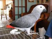 Жако краснохвостых попугаев