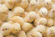Продаю суточных,   пророщенных цыплят бройлера кооб -500.