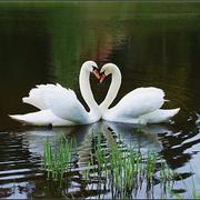 Купить Лебедей Черных,  Белых,  Черношейных можно у нас