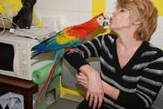 Птенцы выкормыши трехцветного ара макао - 3 месяца