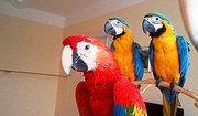 Попугаи ара - ручные птенцы из питомников Европы,  США. Документы CITES