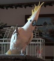 Великолепный какаду Попугай предложить.