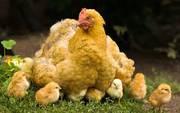 Цыплята,  мулардята,  индоутята