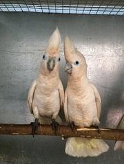 попугай Саломонов Какаду