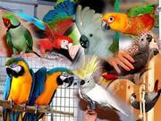 Крупные и средние попугаи